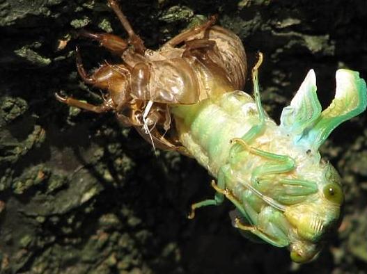 Cicada 3