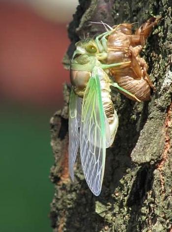 Cicada 5