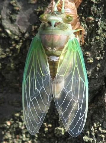 Cicada 6