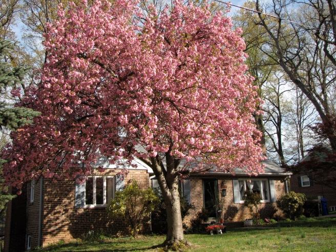Mom's Cherry Tree