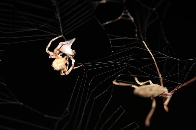 As the spider quickly encased a smaller insect in its web, a larger bug struggled to free himself.