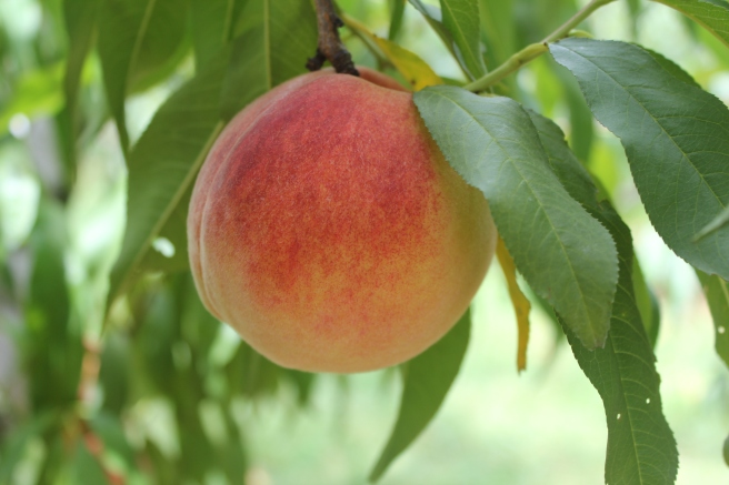 """the round jubilance of a peach"""