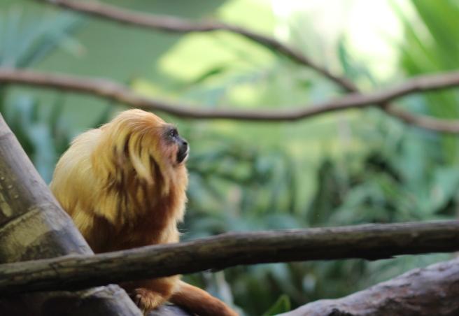 Golden Lion Tamarin Monkey