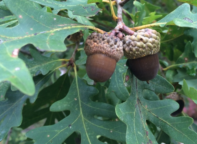 Mighty oaks from tiny acorns grow...