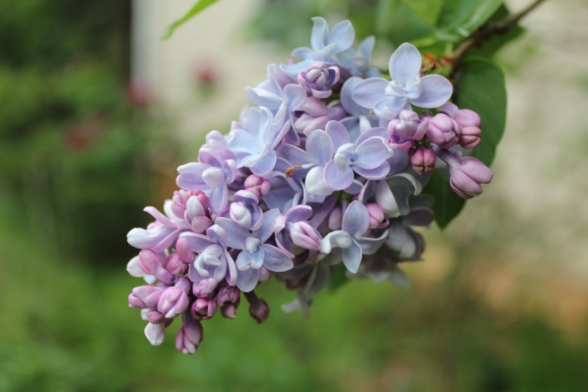 Lilac Atheline Wilbur