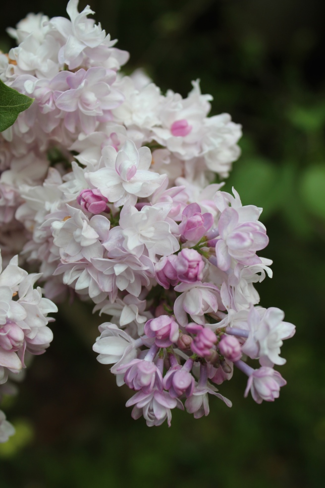 Lilac Krasavitsa Moskvy (Beauty of Moscow)